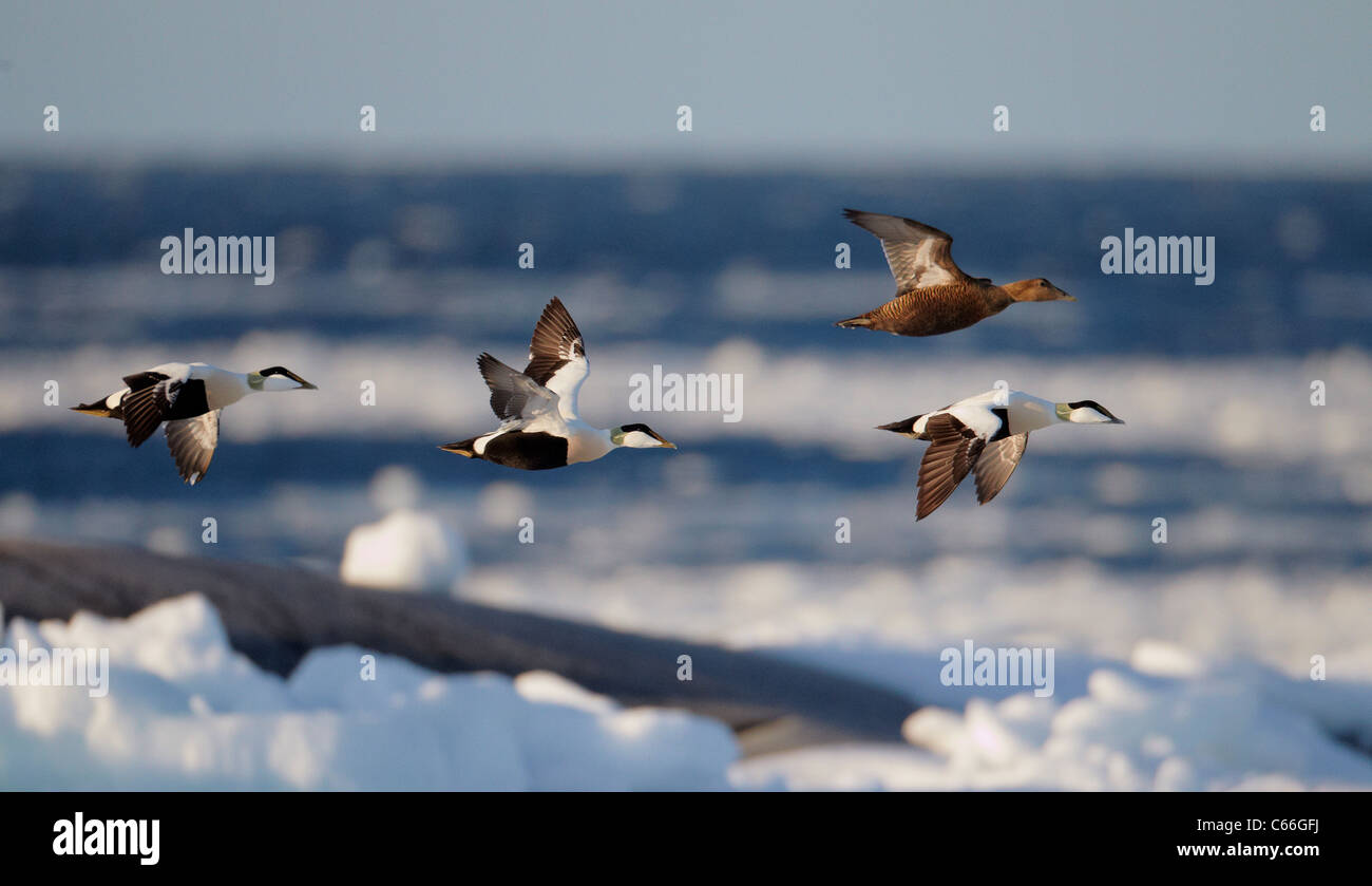 Common Eider (Somateria mollissima). Three drakes and a duck in flight above the ice-covered Baltic Sea. - Stock Image