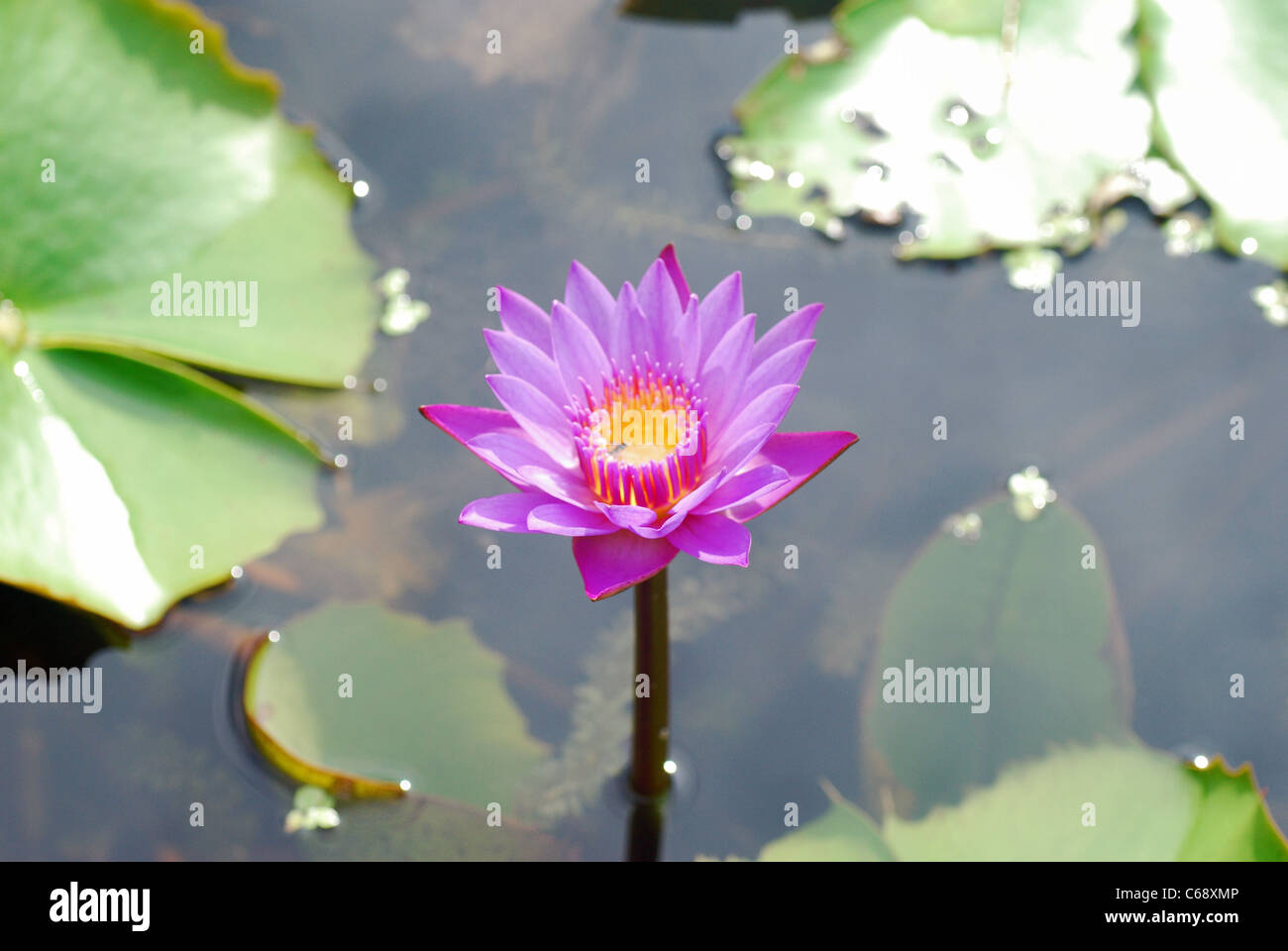 Purple Lotus Sacred Lotus Nelumbo Nucifera Family Nelumbonaceae