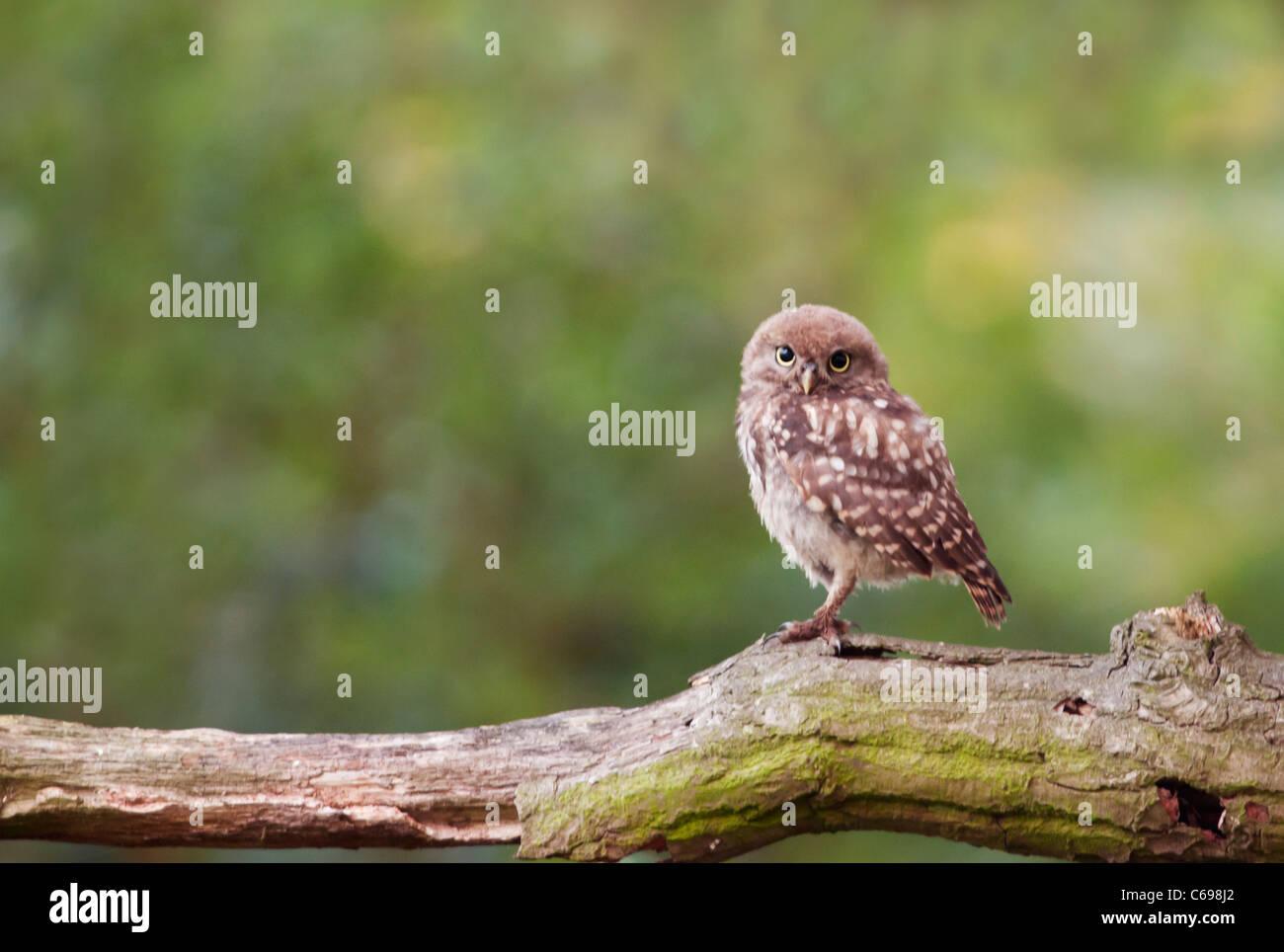 Juvenile Little Owl (Athene noctua) perched on tree branch - Stock Image