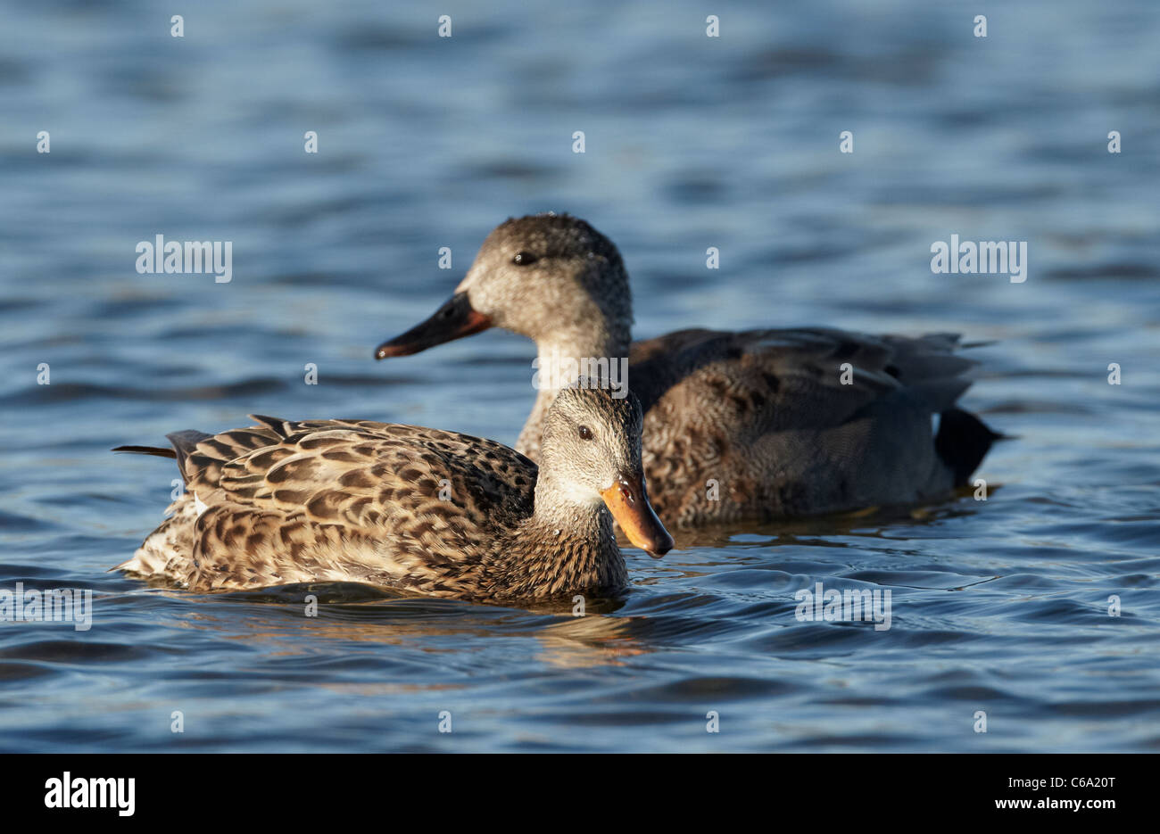 Gadwall (Anas strepera), couple on water. - Stock Image