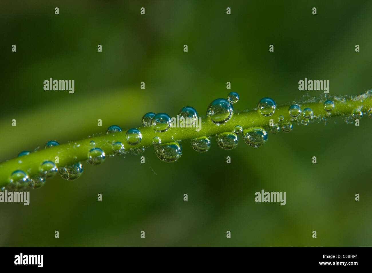 Air bubbles on blade of sea grass, North Male Atoll, Maldives - Stock Image