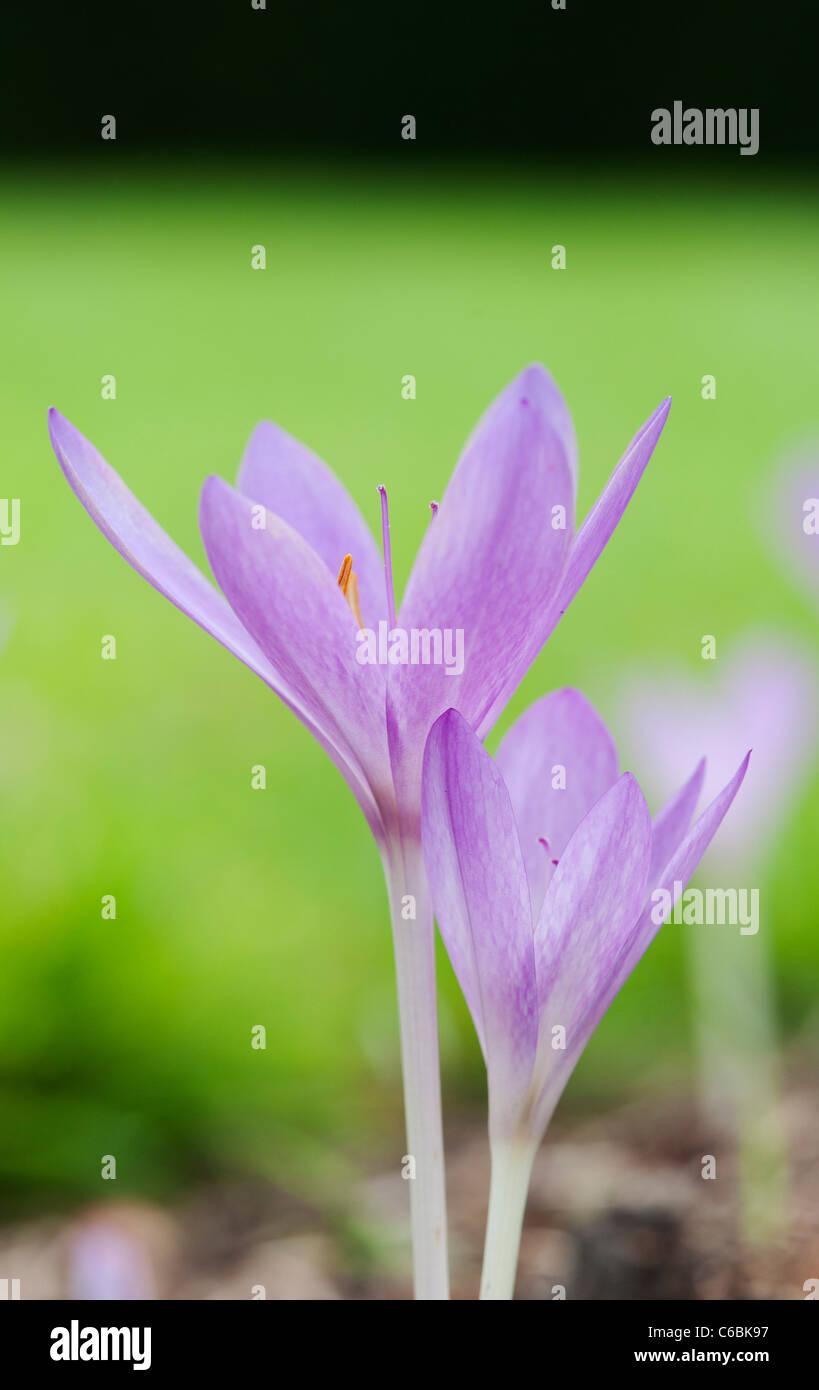 Colchicum Tenorei 'The Giant' . Autumn flowering crocus - Stock Image