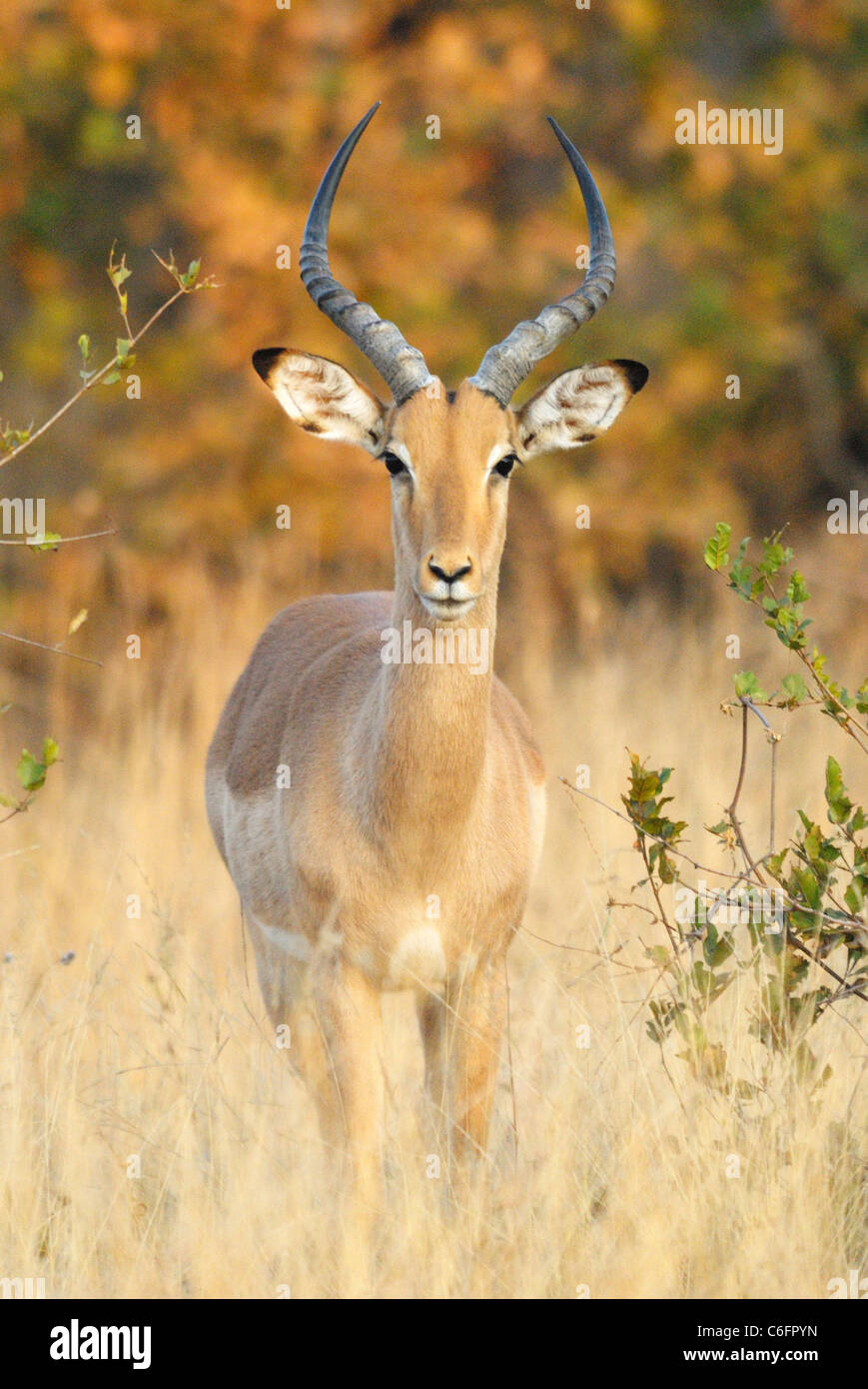 Male Impala in Kruger National Park, South Africa - Stock Image