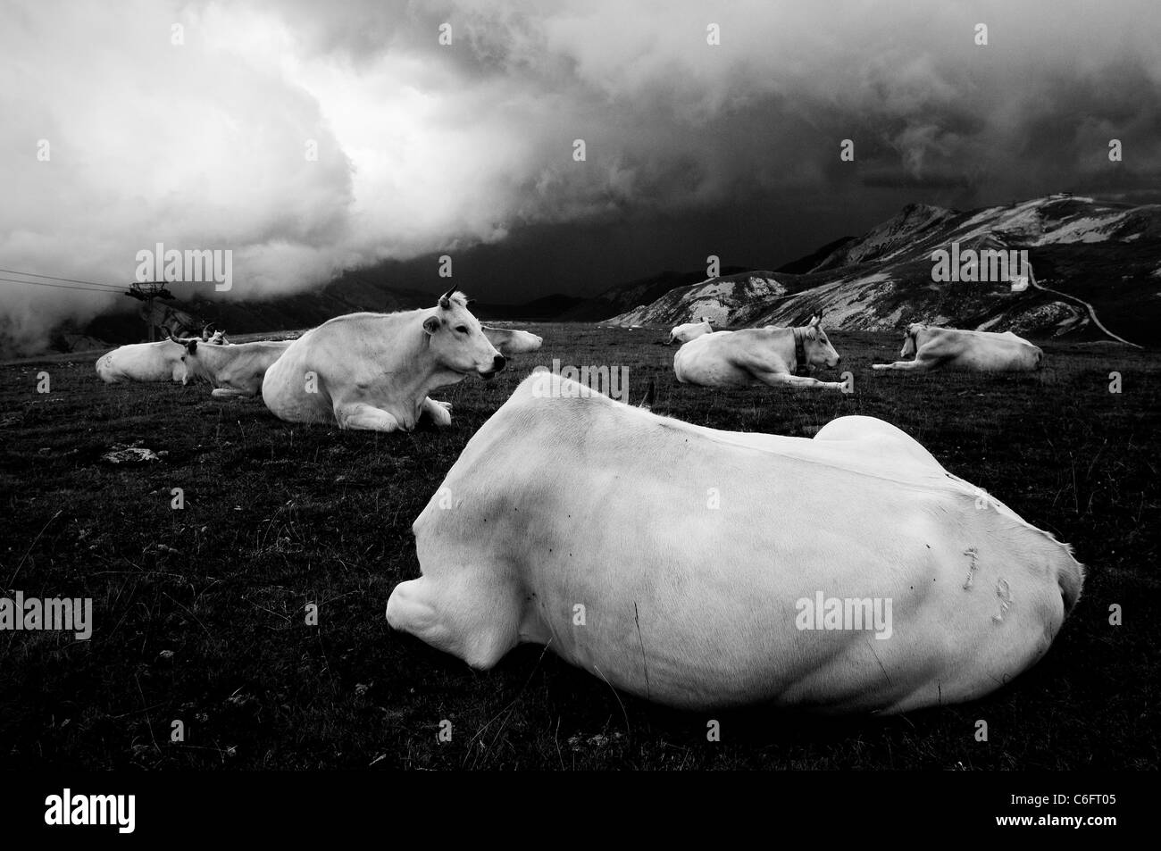White cows on a cloudy mountain - Stock Image