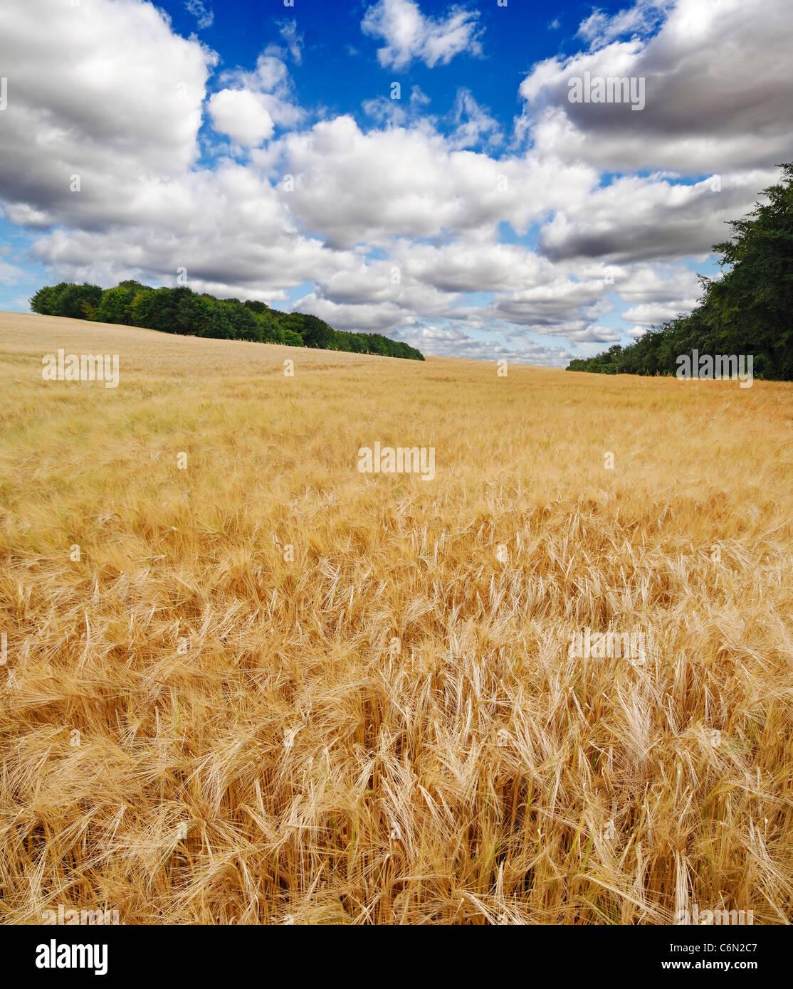 Barley Field, Knighton, Oxfordshire, United Kingdom. - Stock Image