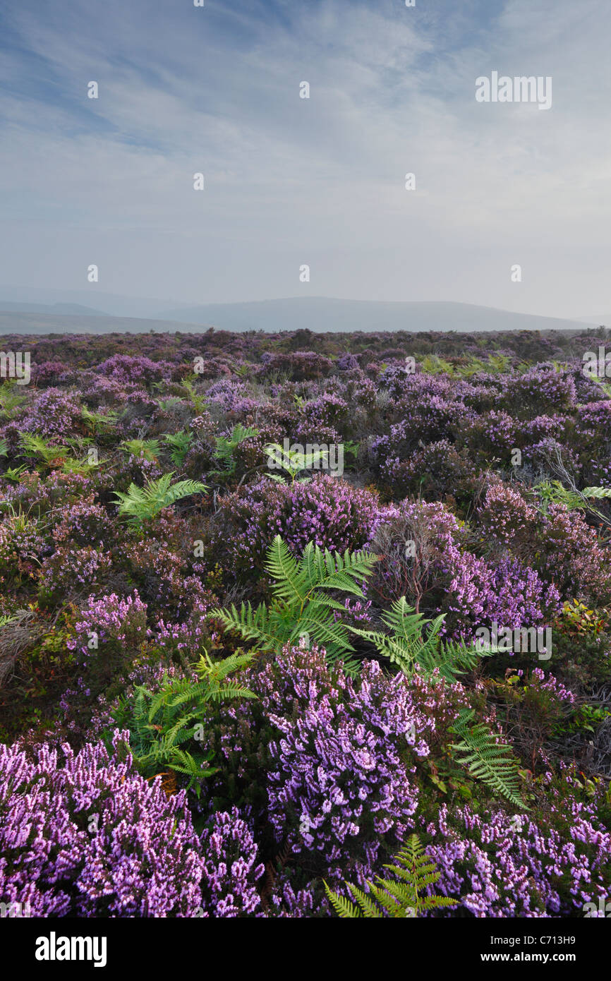 Heather and Bracken on the Quantock Hills in September. Somerset. England. UK. - Stock Image