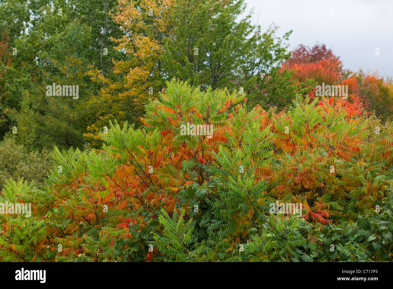 Autumn color sumac trees, red, yellow and green, New England fall ...