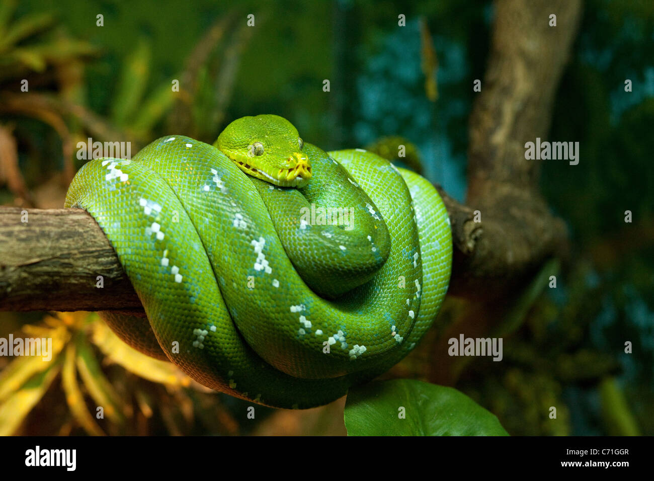 green-tree-python-morelia-viridis-coiled-around-a-branch-singapore-C71GGR.jpg