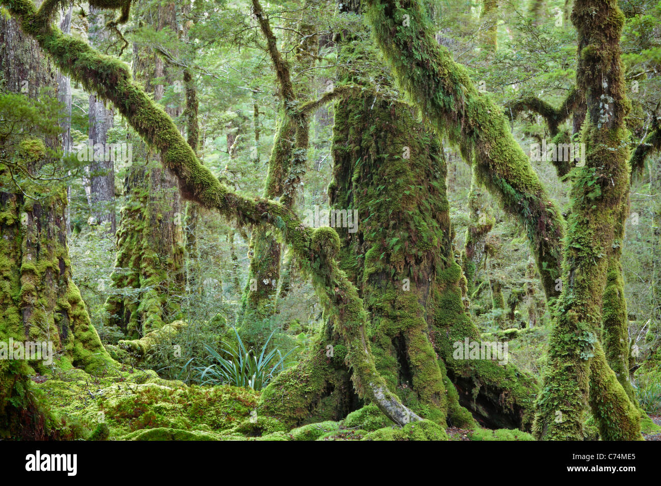 Classic moss-covered Beech forest along the shores of Lake Gunn on the Milford Sound Road in Fjordland, New Zealand - Stock Image
