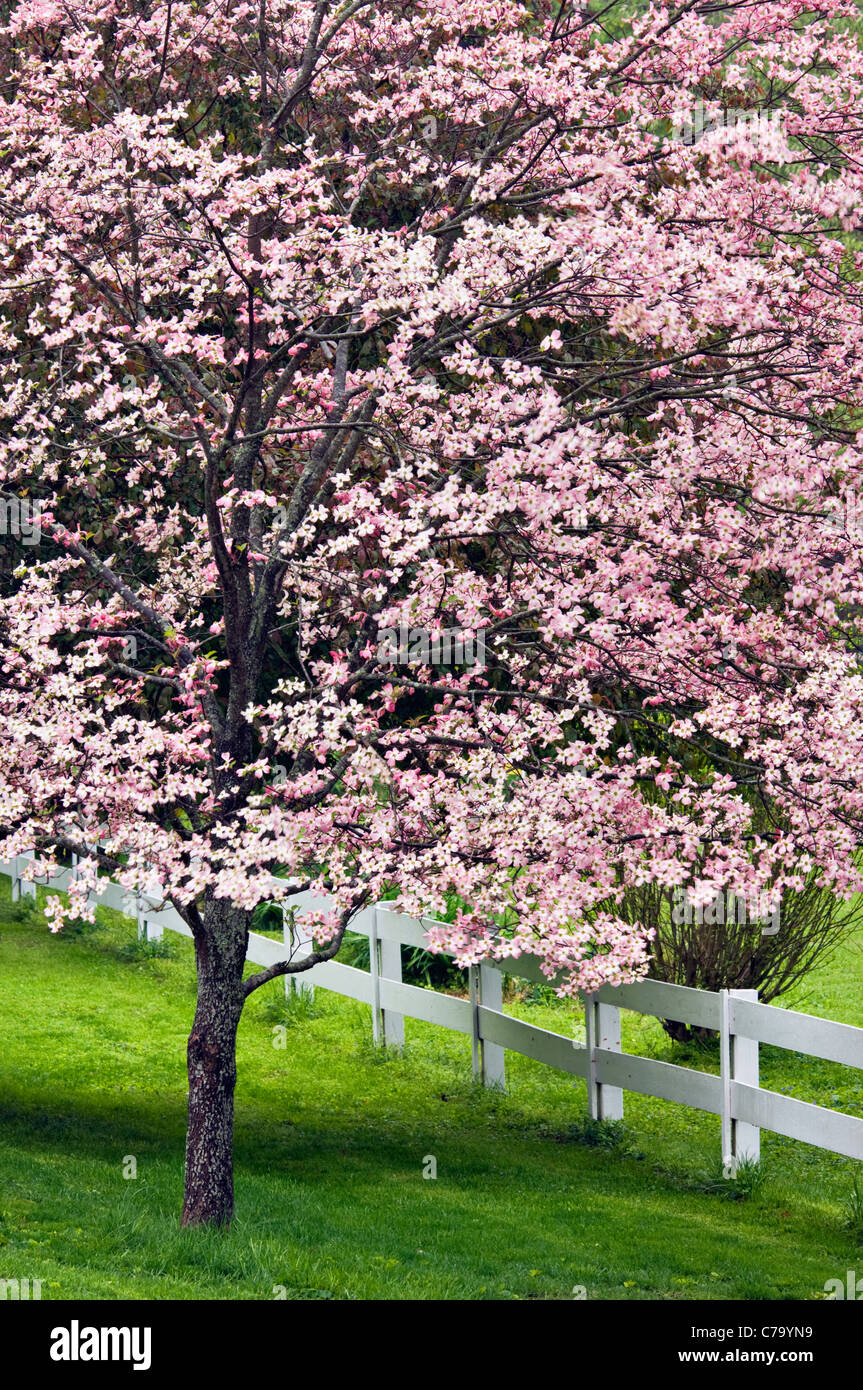 Blooming Pink Dogwood Tree And White Fence In Floyd County Indiana