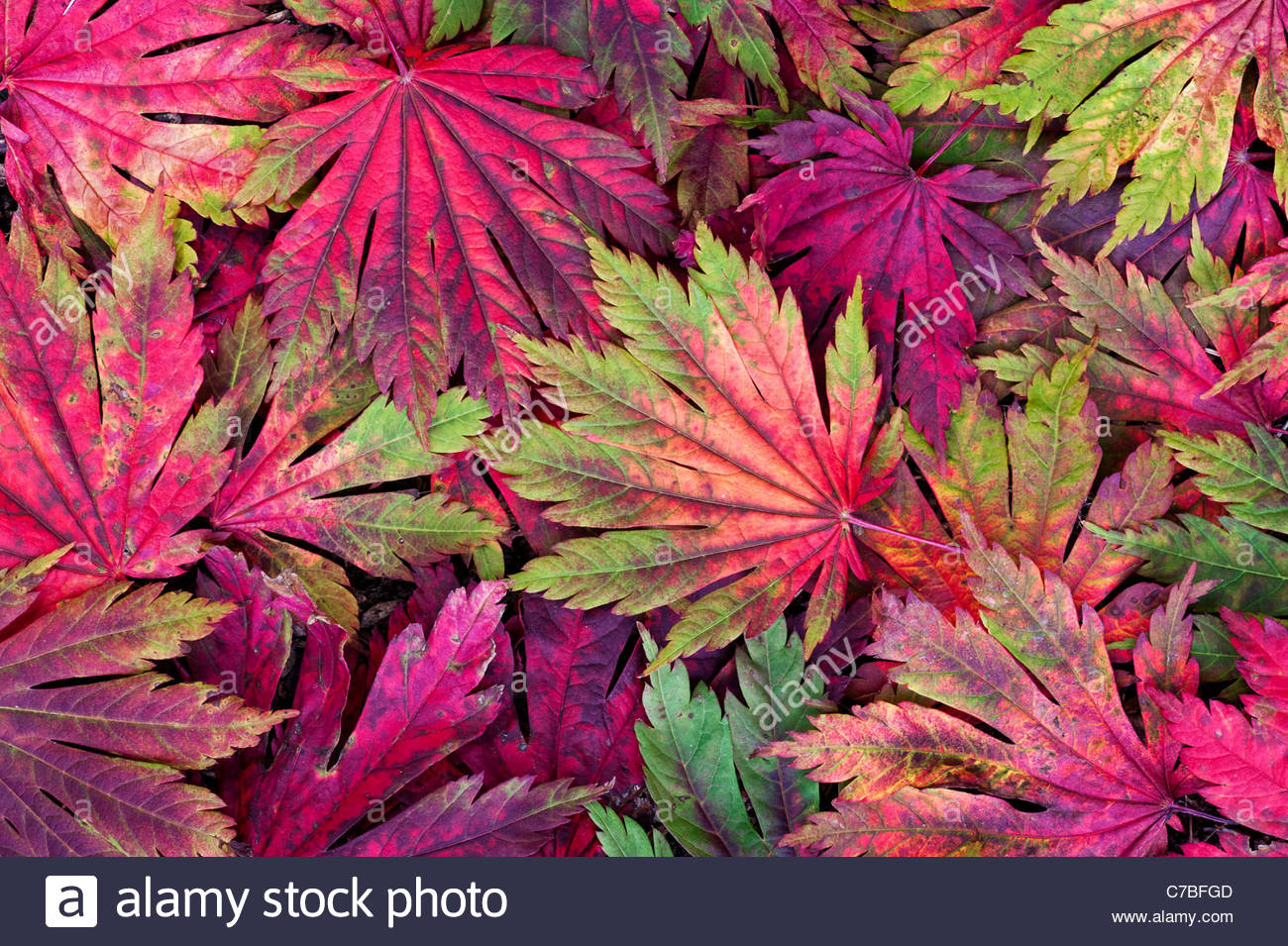 AcerJaponicum Attaryi leaves. Japanese Maple leaves changing colour in autumn. Red Acer leaf pattern - Stock Image