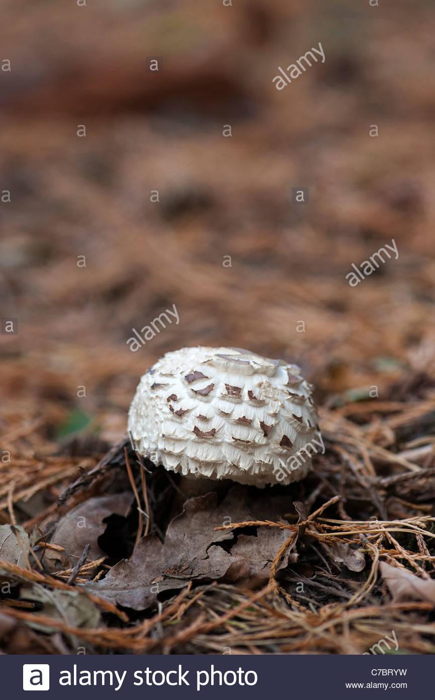 Chlorophyllum rhacodes. Shaggy parasol mushroom emerging through the woodland floor in september. UK - Stock Image