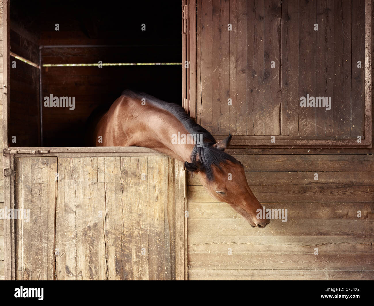 english thoroughbred horse in stable at riding school - Stock Image