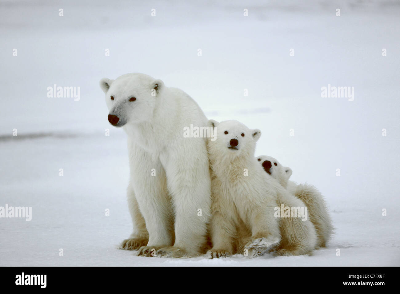 Polar she-bear with cubs. The polar she-bear with two kids on snow-covered coast. - Stock Image