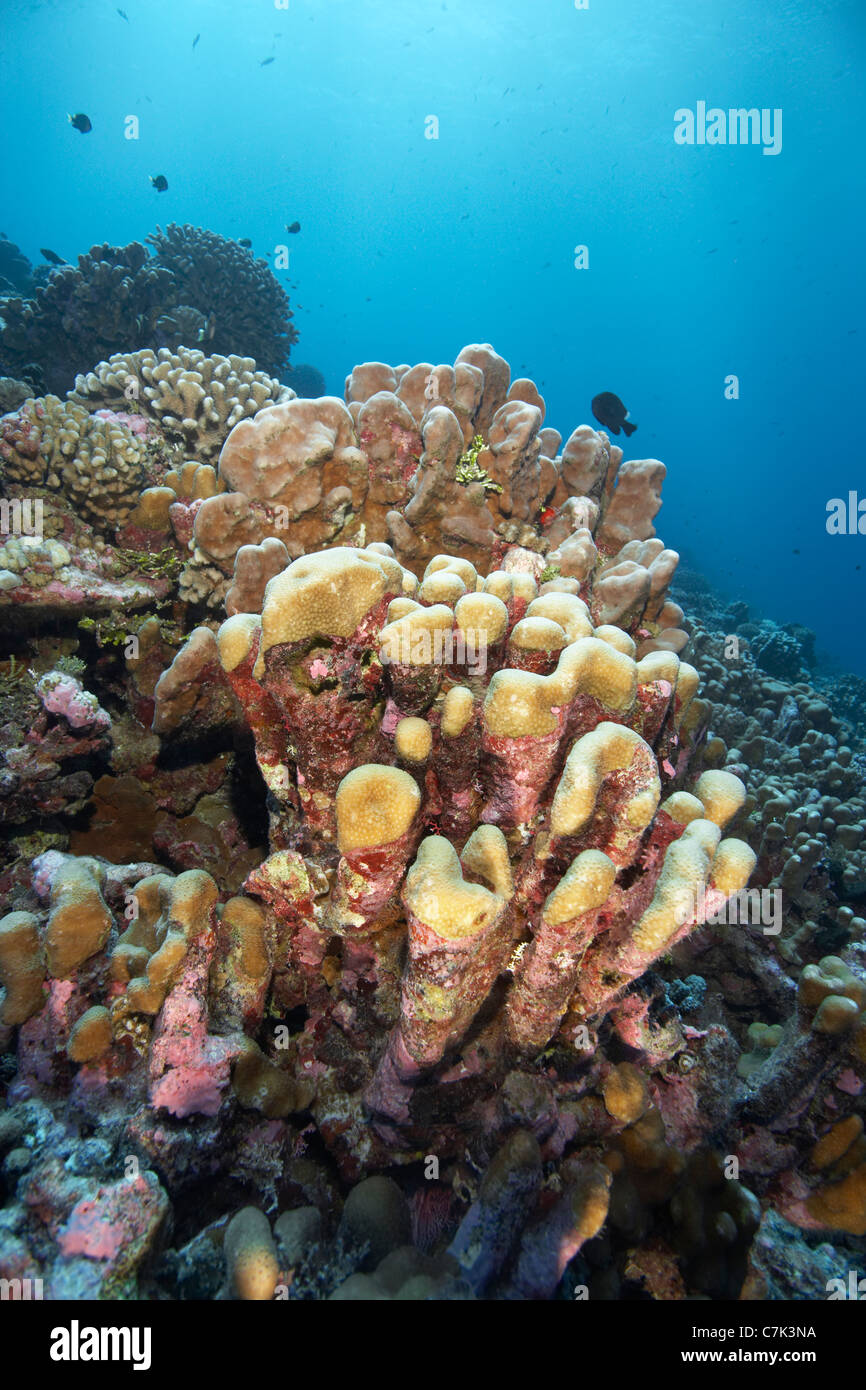 Close up of coral reef - Stock Image