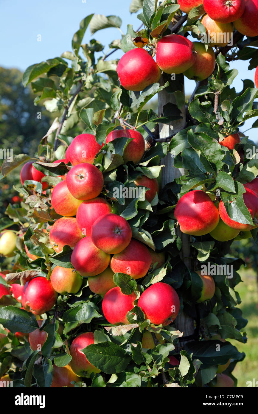 Branches with red, ripe Initial apples ready for picking at the pick-your-own orchard in Trørød near Copenhagen, Stock Photo