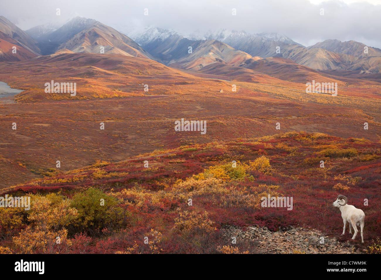 Dall's Sheep, Polychrome Pass, Denali National Park, Alaska. - Stock Image