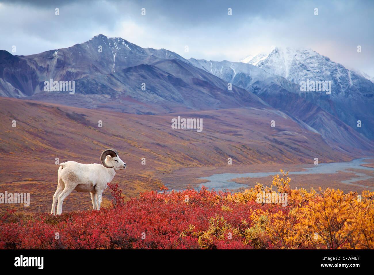Dall's sheep in Polychrome Pass, Denali National Park, Alaska. - Stock Image