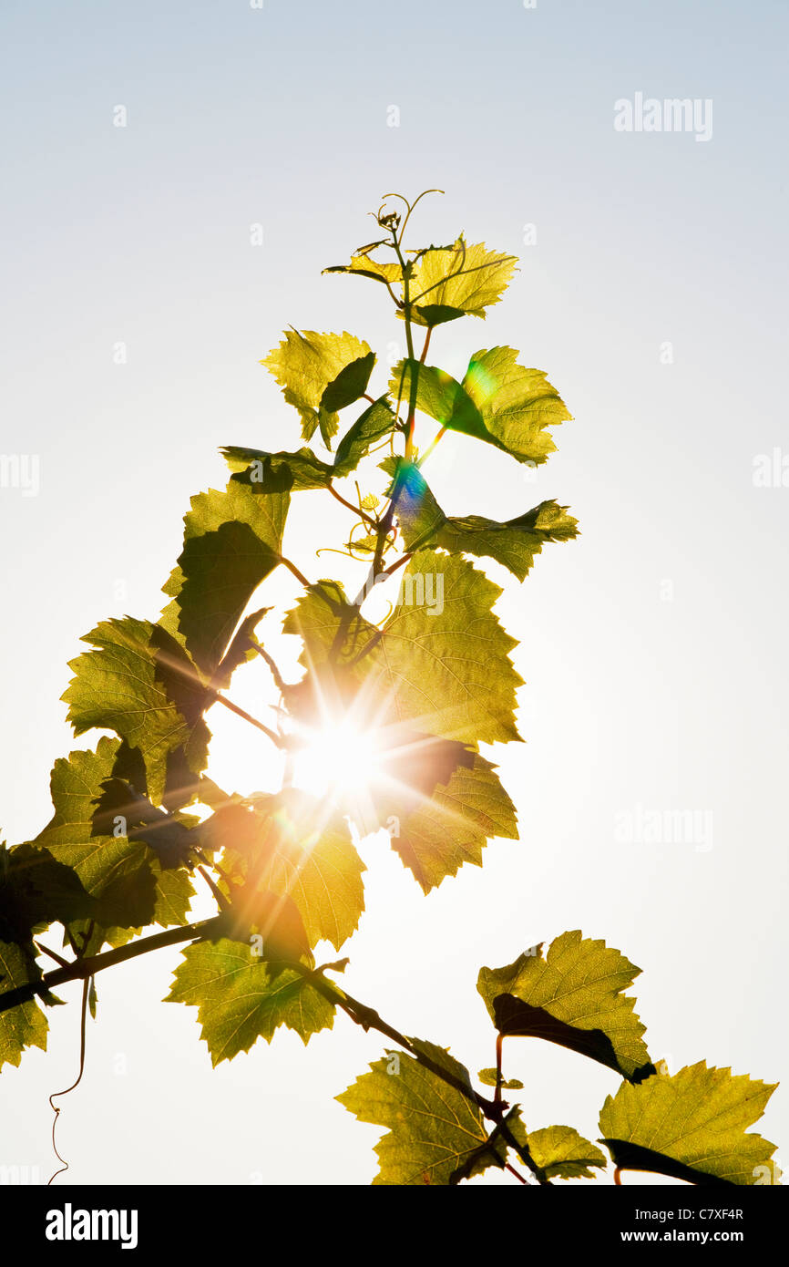 Canada,Ontario, Niagara Region,grape tendril - Stock Image