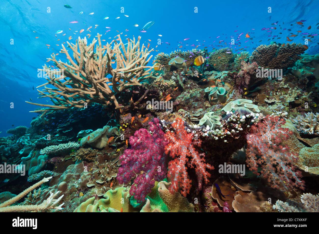 Coral Reef, Wakaya, Lomaiviti, Fiji - Stock Image