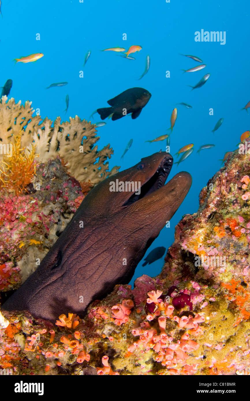 Maldives, underwater sea life and fish, moray eel, fish, colorful Stock Photo: 39369143 - Alamy