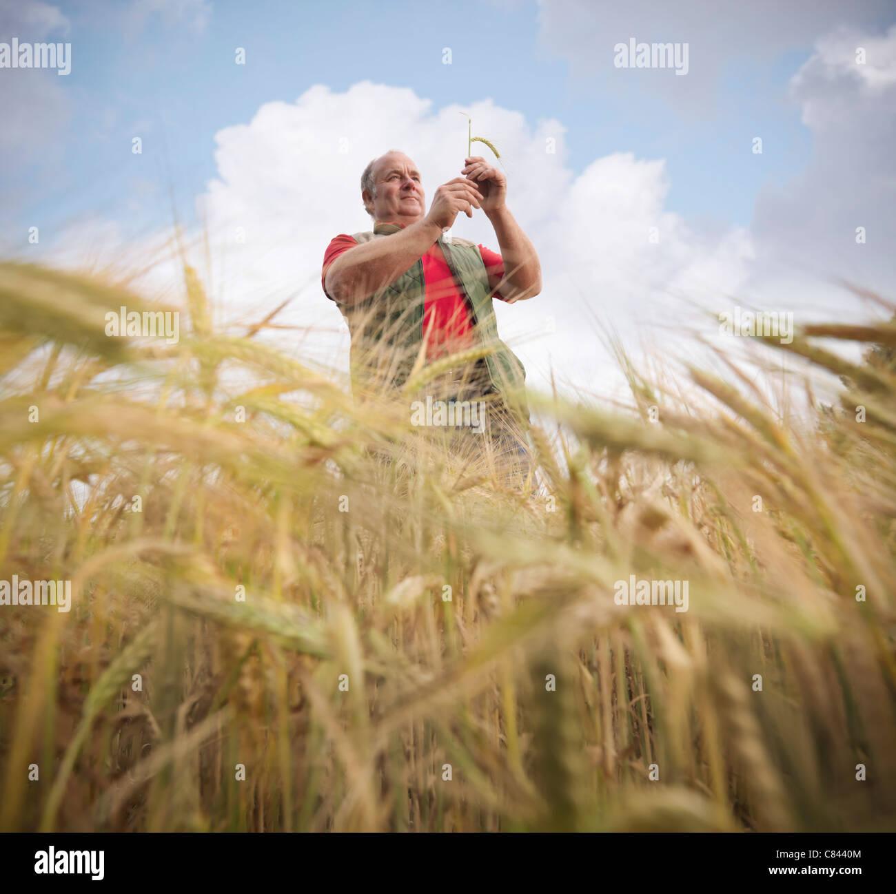 Farmer examining barley stalks in field - Stock Image