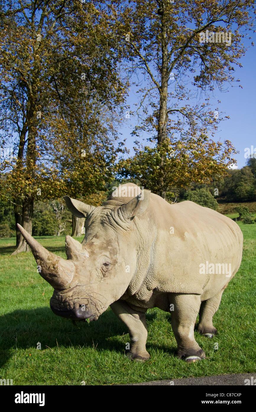 White rhinoceros at Longleat Safari Park Wiltshire UK - Stock Image