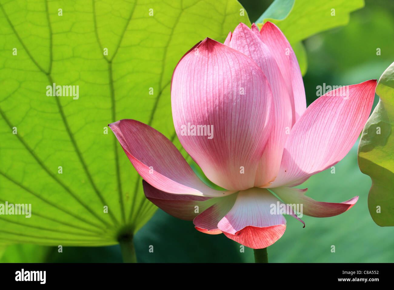 A chinese lotus flower in bud china stock photo 39561566 alamy a chinese lotus flower in bud china izmirmasajfo