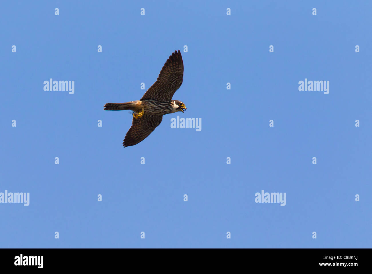 Eurasian Hobby (Falco subbuteo) in flight with caught dragonfly, Germany - Stock Image
