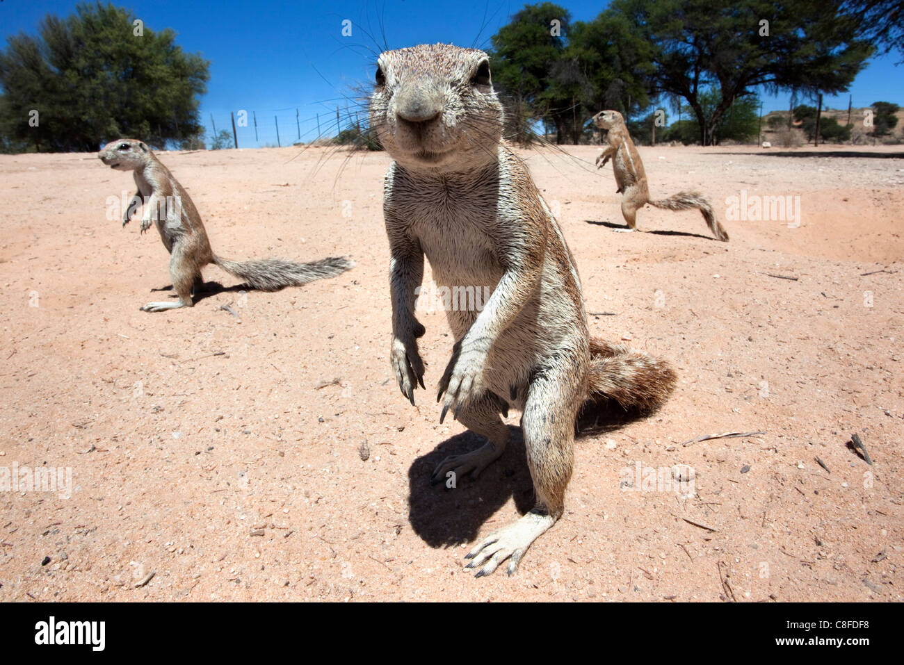 Ground squirrels (Xerus inauris, Kgalagadi Transfrontier Park, Northern Cape, South Africa - Stock Image