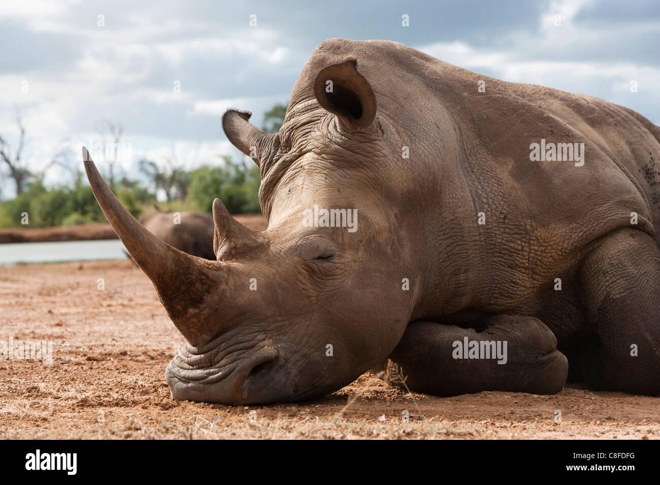 White rhino (Ceratotherium simum, Royal Hlane National Park, Swaziland - Stock Image