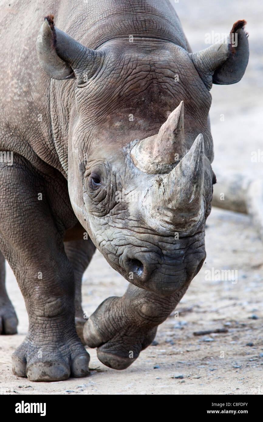 Black Rhino, South Africa - Stock Image