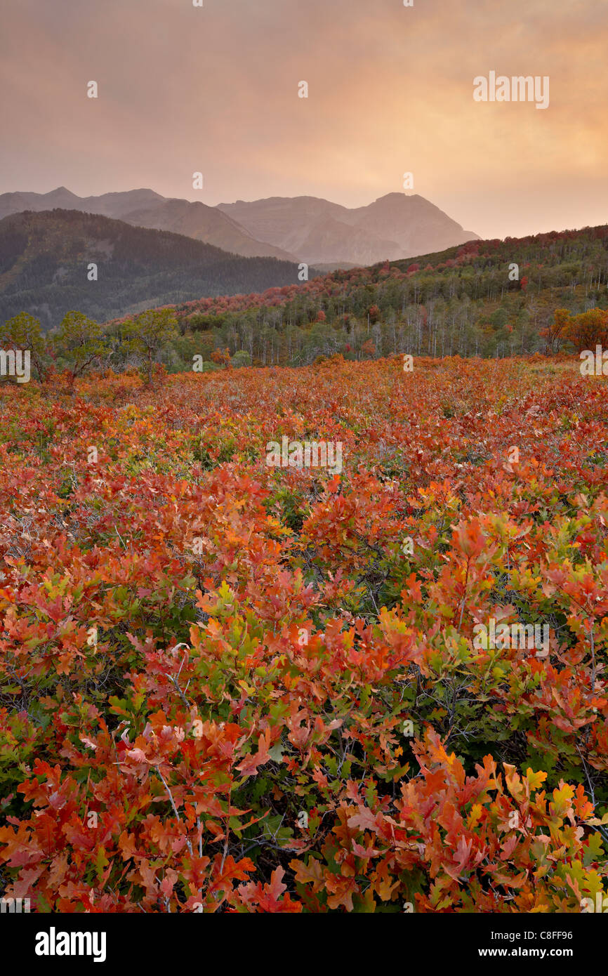 Sunset over red and orange oaks in the fall, Uinta National Forest, Utah, United States of America - Stock Image