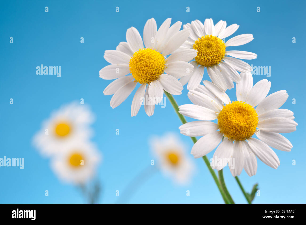 Macro shot of wild chamomiles on a blue sky background. - Stock Image
