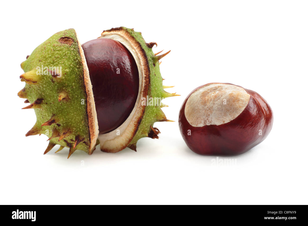 Two conkers, one still in the shell. Isolated on a white background. Stock Photo