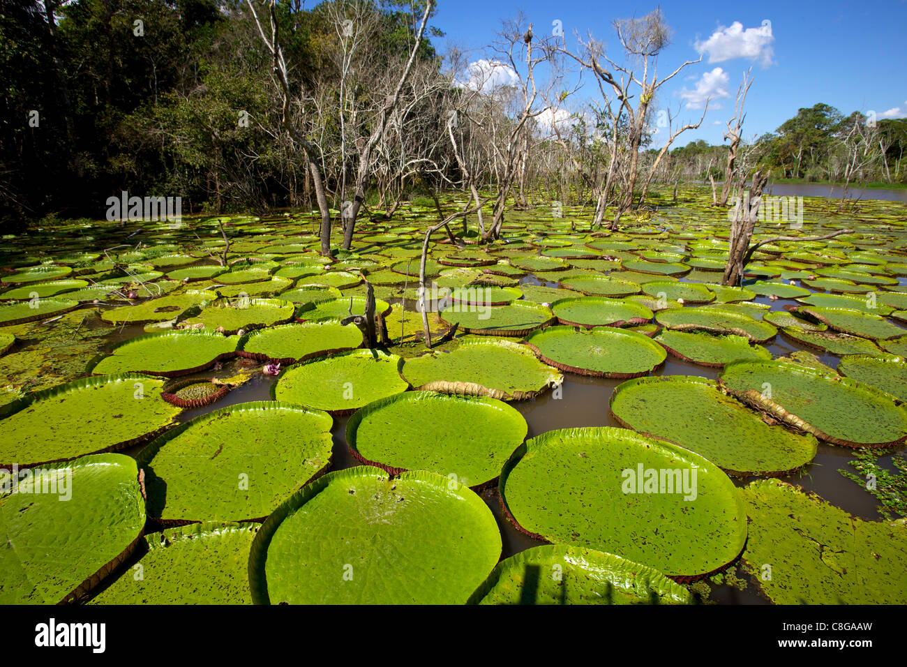 Giant lily leaves and flower in the Amazonian forest, Manaus, Brazil - Stock Image