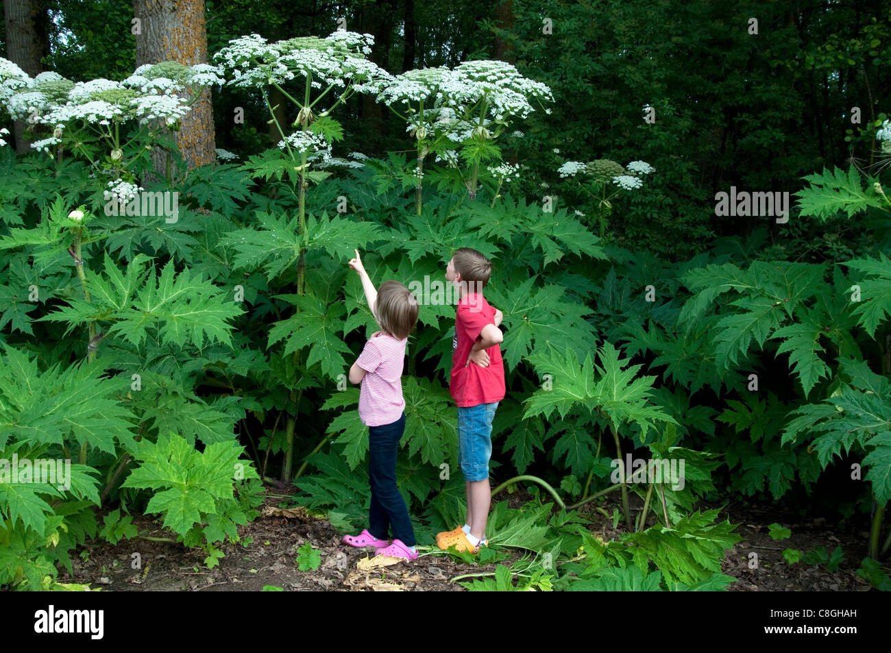 Children looking at Giant Hogweed (Heracleum mantegazzianum). Stock Photo