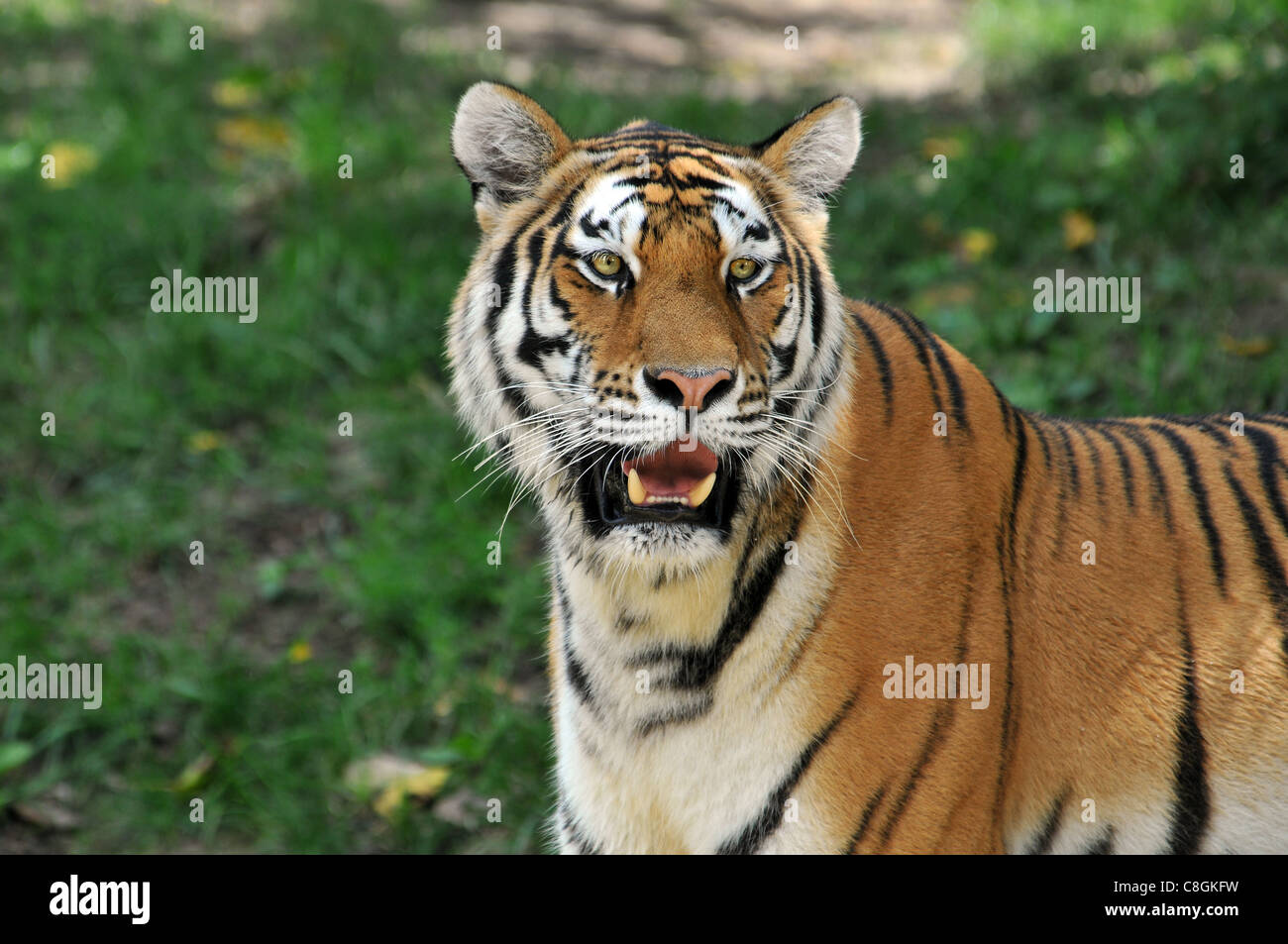 portrait of tiger with background out of focus stock photo: 39704557