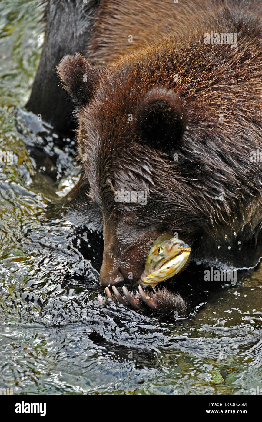 A Grizzly Bear catching a spawning chum salmon in Fish Creek near Hyder Alaska - Stock Image