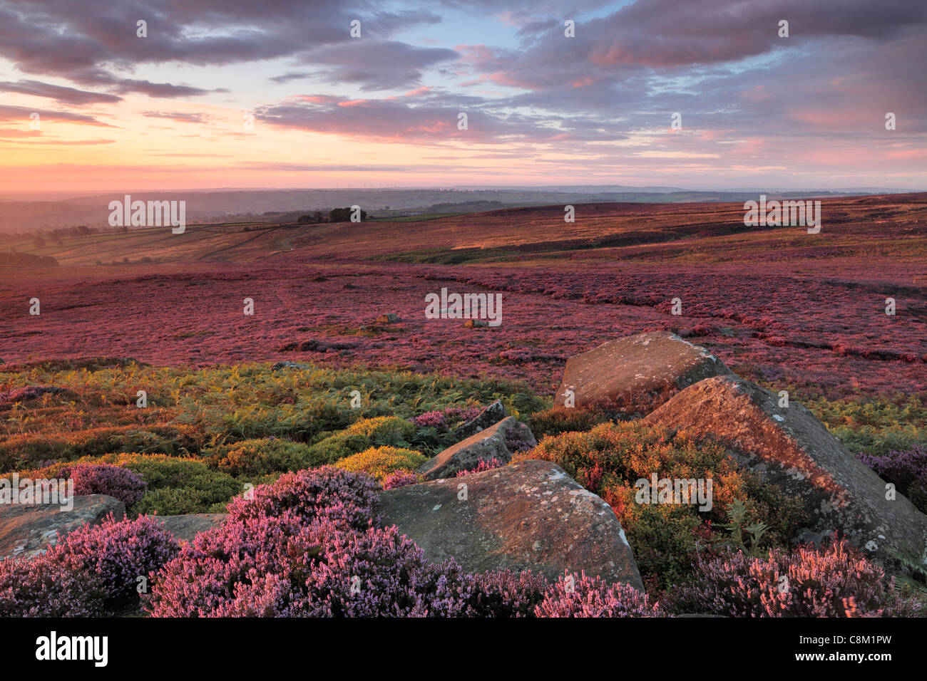 Bright purple heather in Nidderdale as seen from High Crag Ridge near Pateley Bridge and Glasshouses in Yorkshire, - Stock Image