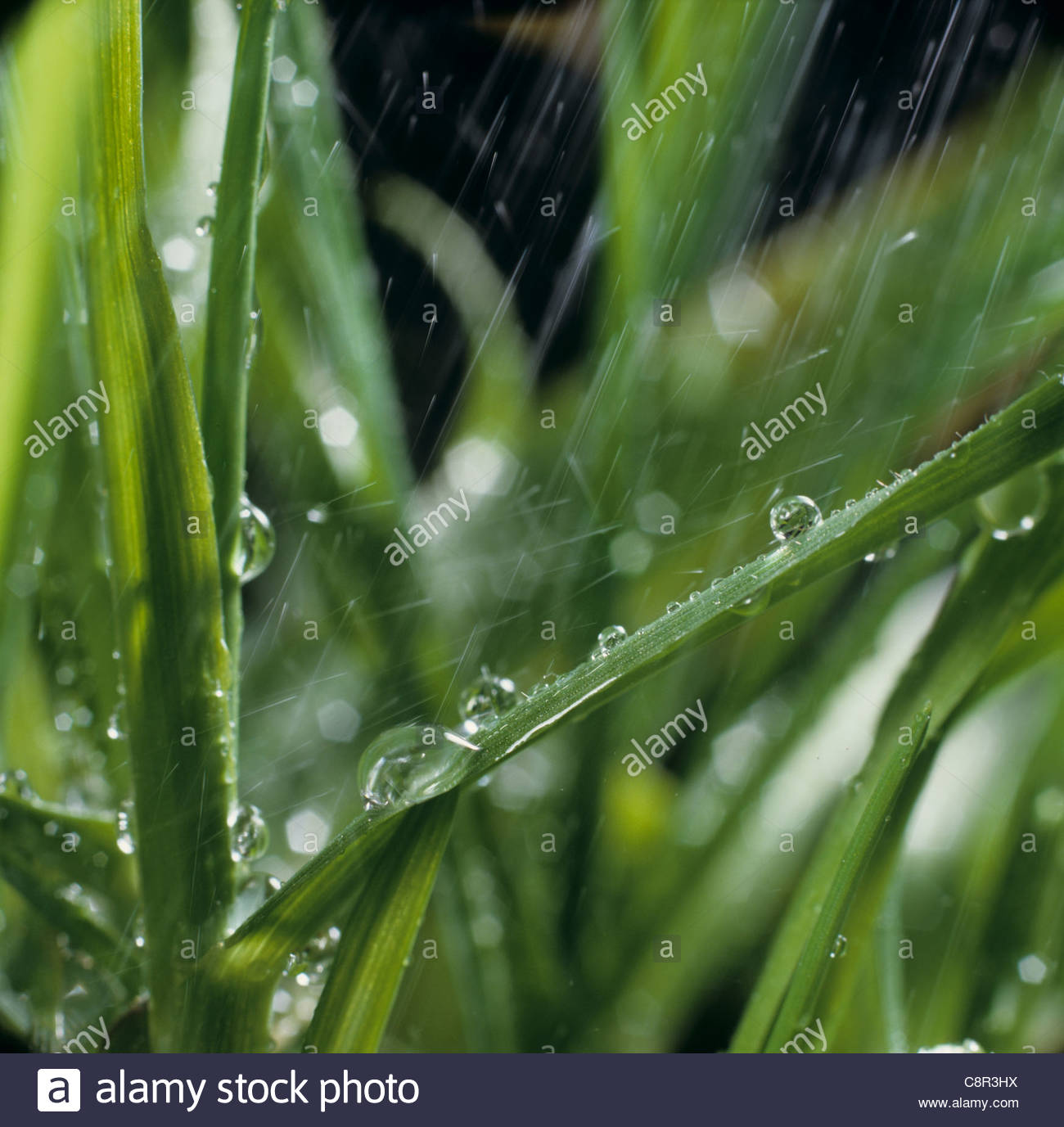 Simulated rain water falling on wheat leaves - Stock Image