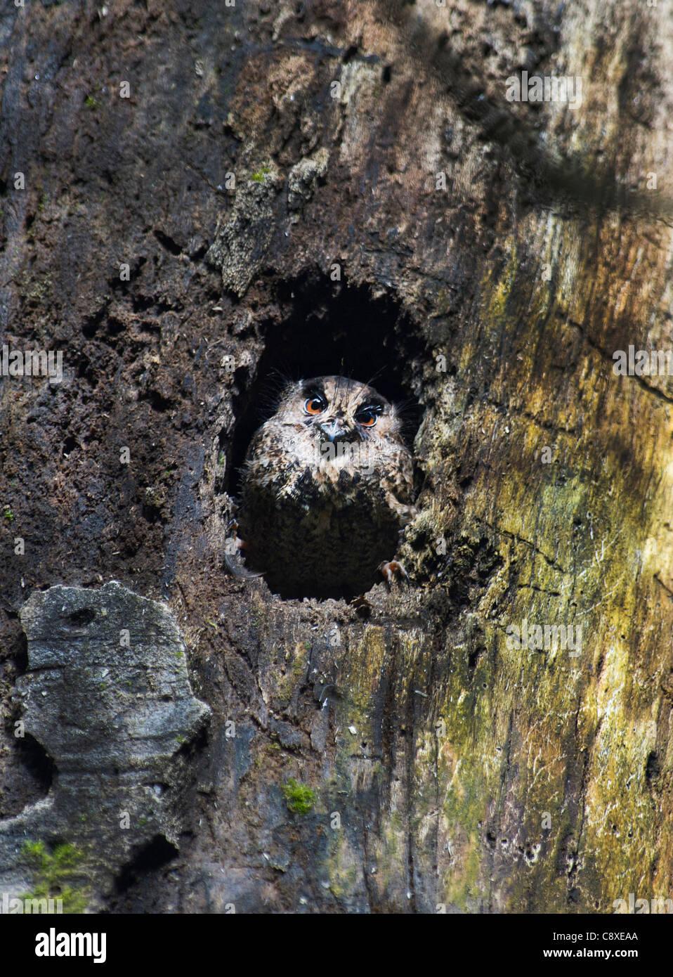 Feline Owlet-Nightjar Aegotheles insignis Tari Southern Highlands Papua New Guinea - Stock Image