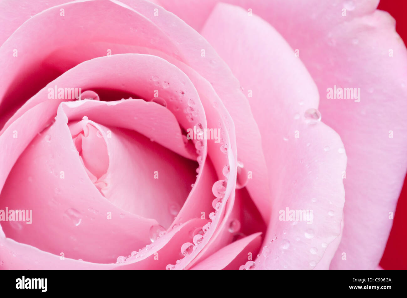 Pink rose with water droplets. - Stock Image