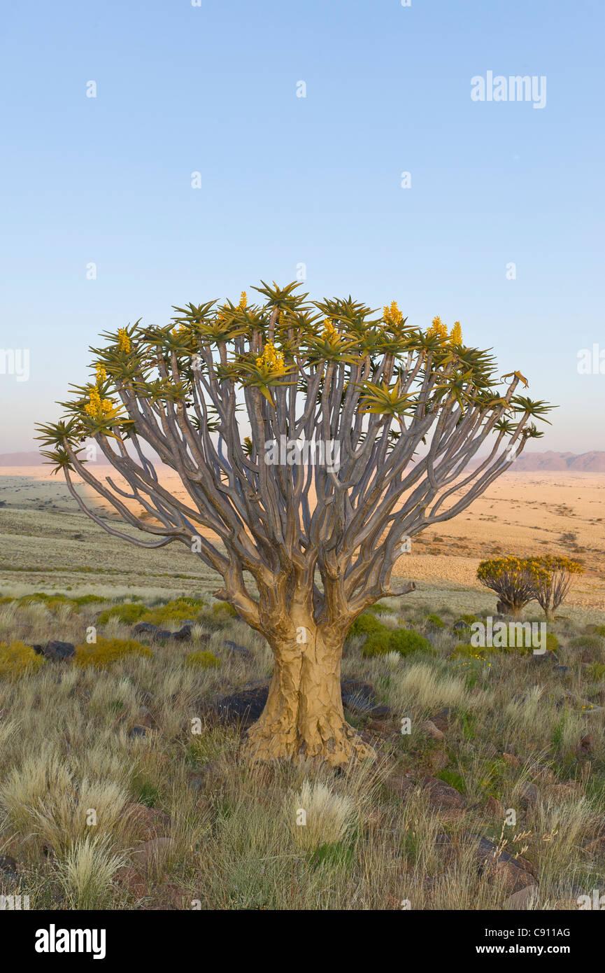 Quiver tree on Koiimasis farm Tiras Mountains Namibia - Stock Image
