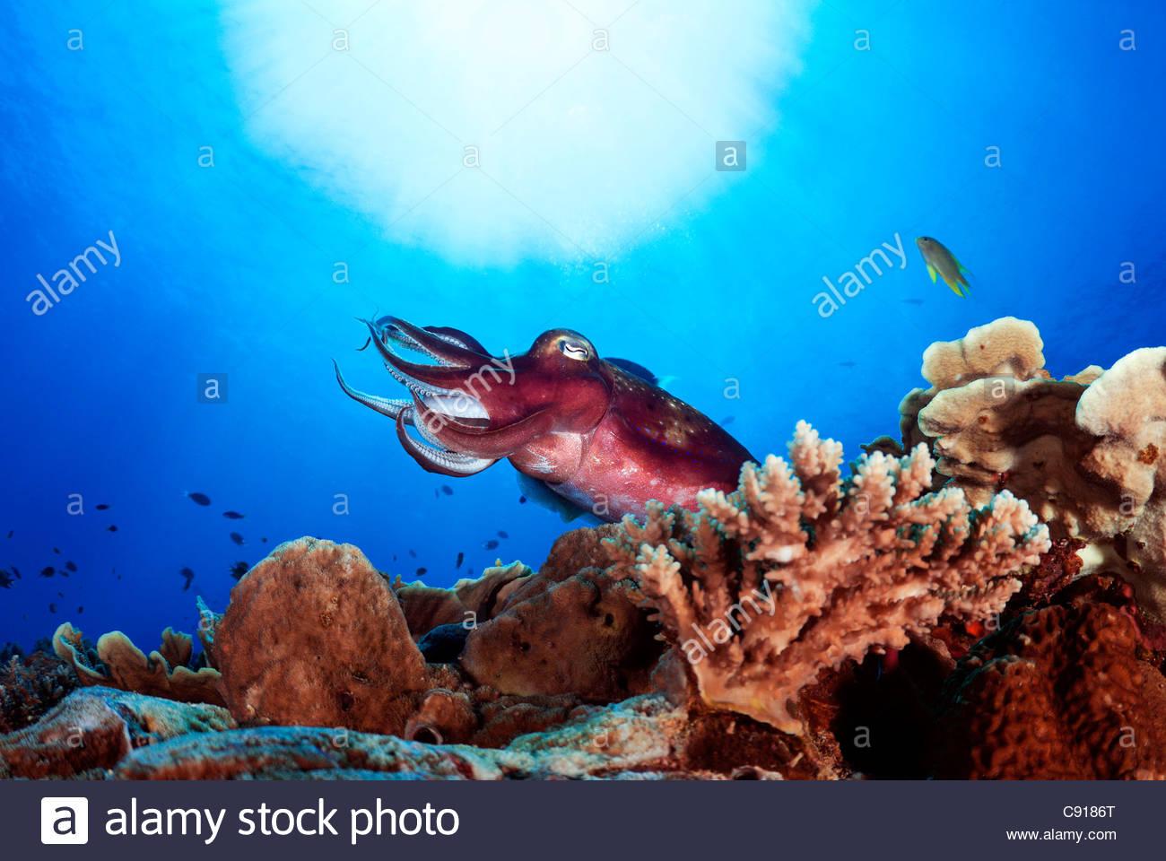 Cuttlefish (Sepia sp), Papua New Guinea - Stock Image
