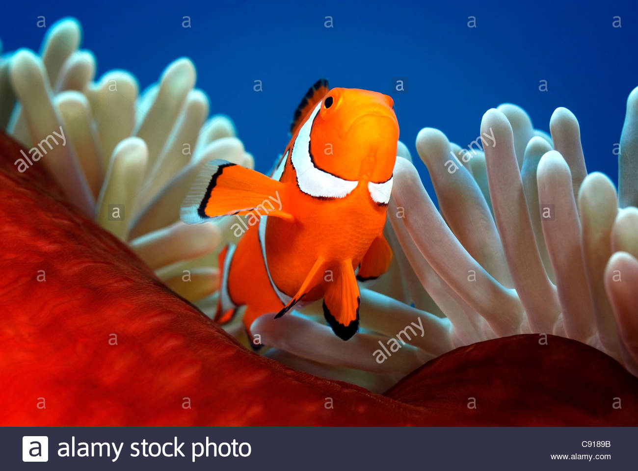 Clownfish (amphiprion ocellaris) Papua New Guinea - Stock Image