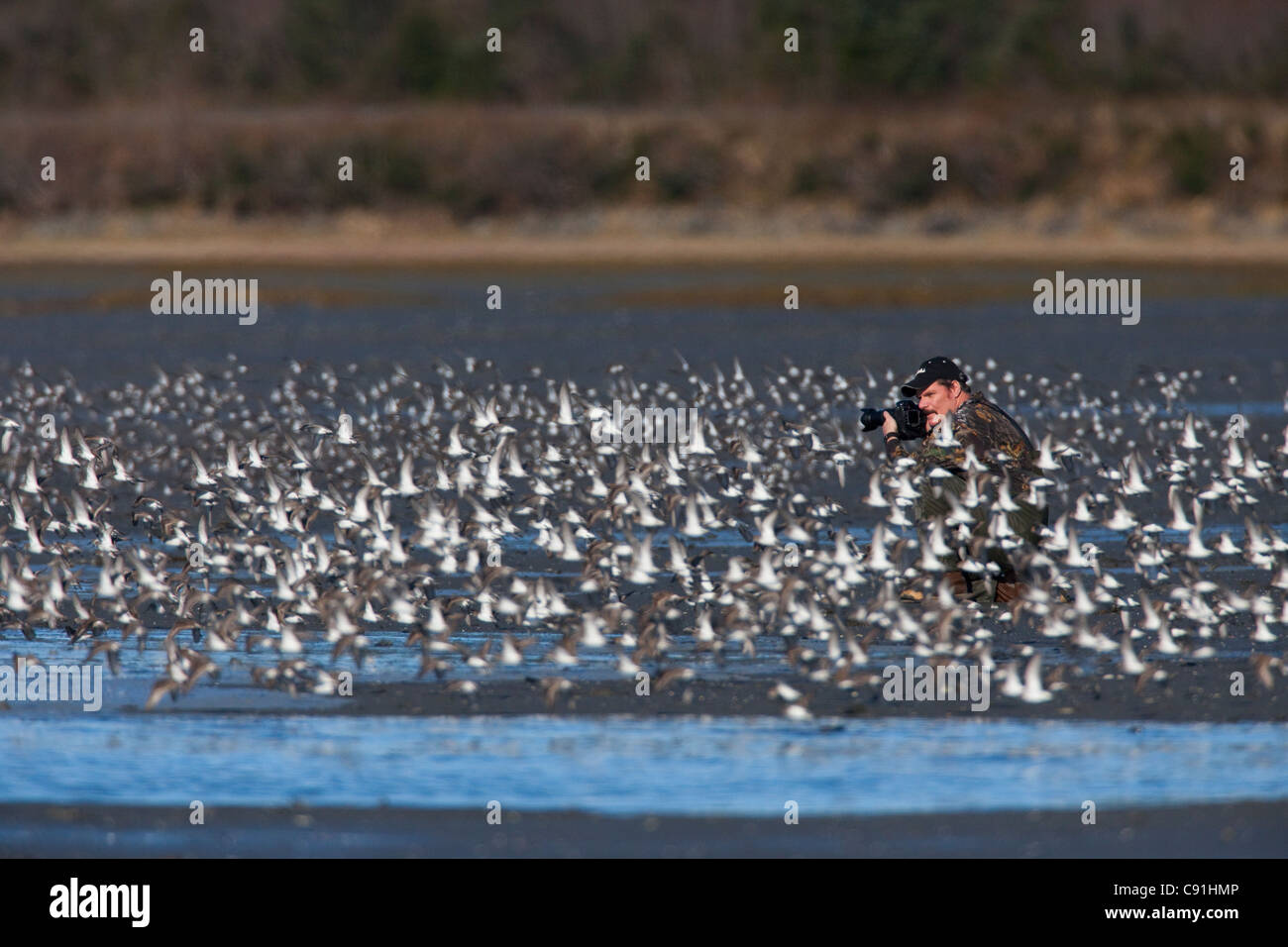 Photographer surrounded by a shorebird flock in flight at Hartney Bay, Copper River Delta, near Cordova, Alaska, - Stock Image