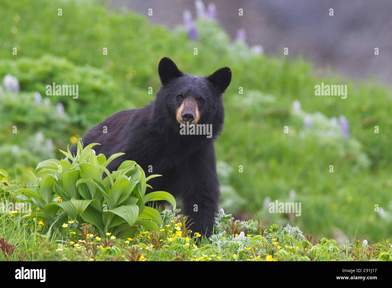 Black bear standing in alpine vegetation, Harding Icefield Trail, Kenai Fjords National Park, near Seward, Southcentral - Stock Image