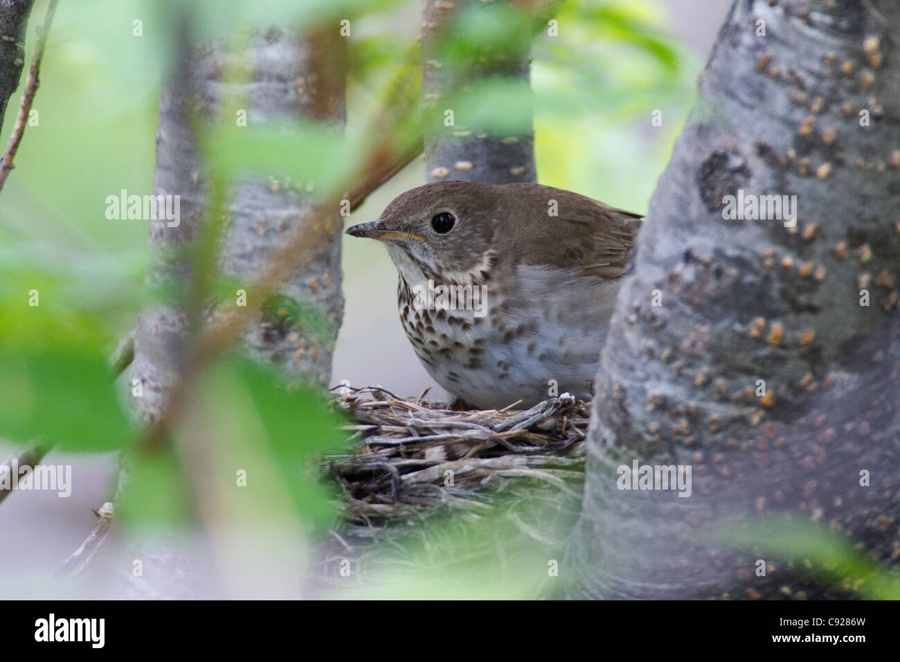 Gray-cheeked Thrush on nest in a tree, Long Island, Copper River Delta,Southcentral Alaska, Spring - Stock Image