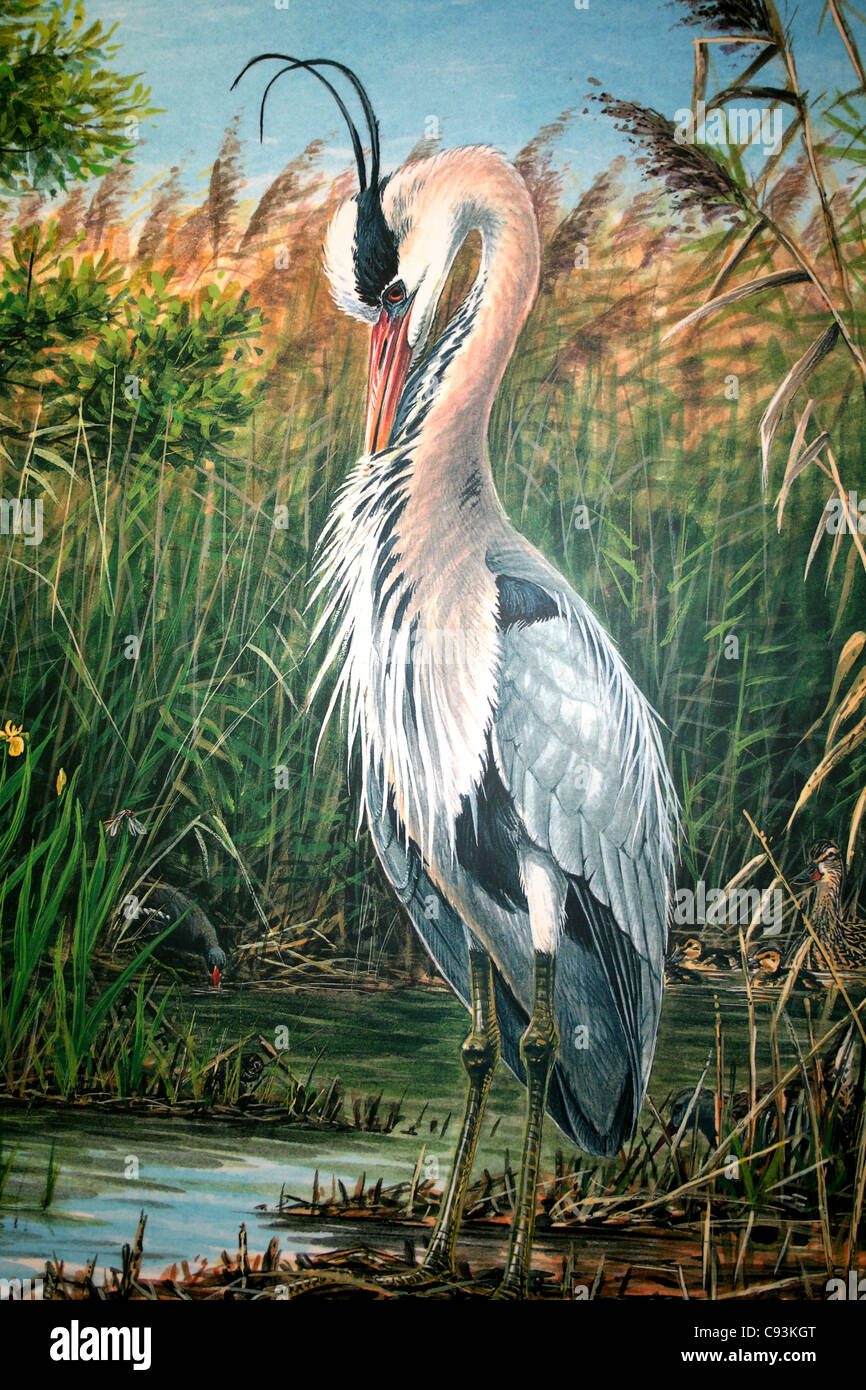 Illustration Of A Grooming Grey Heron Photographed At Leighton Moss RSPB Reserve, Lancashire, UK - Stock Image